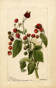 Botanical illustration of a Raspberry plant